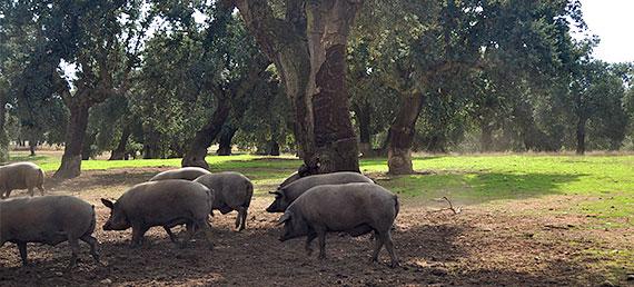 Cerdos ibéricos en la Dehesa de Salamanca