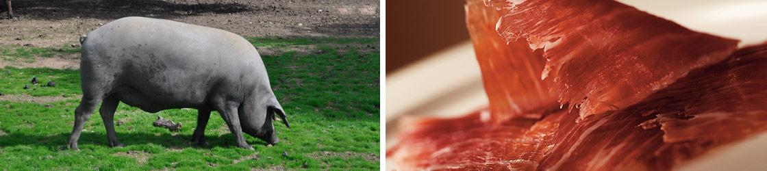 cerdos ibéricos y jamón ibérico