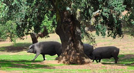 cerdos ibérico comiendo en dehesa